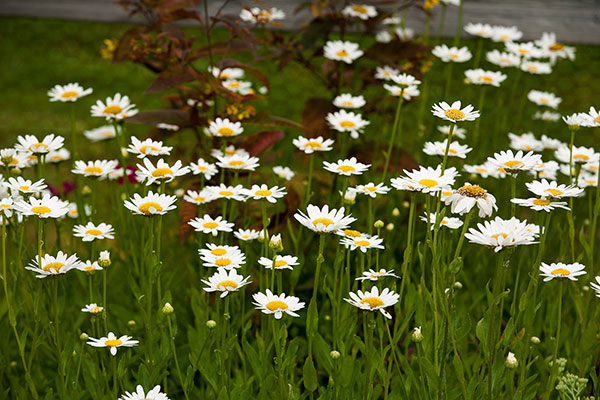 White daisy flowers blooming on the grounds of Hamlet at Chagrin Falls.